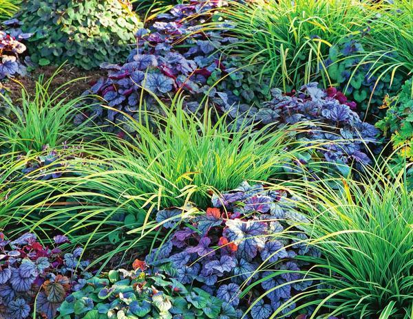 Осока Морроу (Carex morrowii) 'Ice Dance' рядом с краснолистной гейхерой