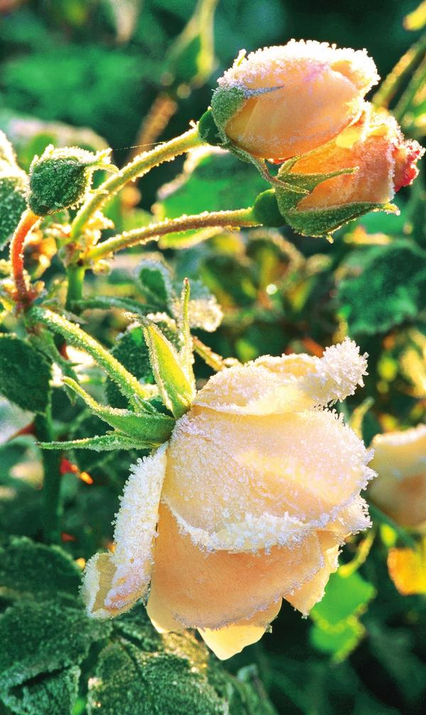 Почвопокровная роза Schneeflocke