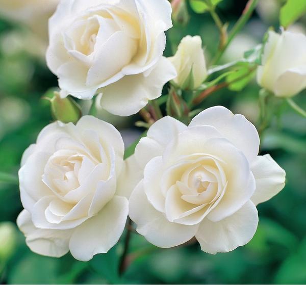 Самые красивые белые розы