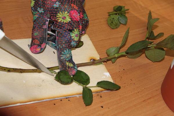 Острым ножом обрежьте нижнюю часть стебля сразу под нижней почкой под углом 45 градусов.