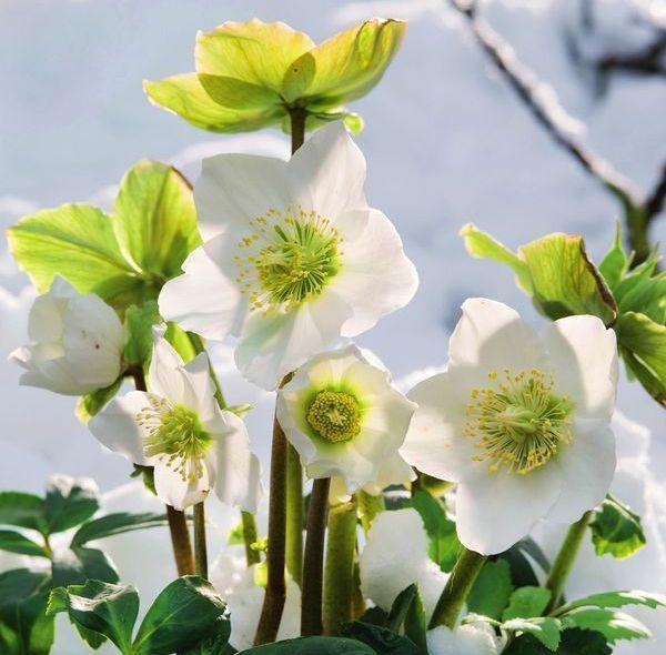 Морозник цветет, несмотря на снег и холод.