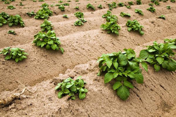 Защитить картофель поможет укрывное окучивание
