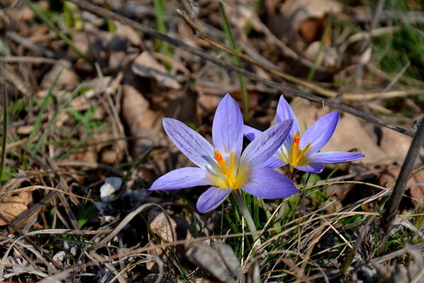 Крокусы на горе Бештау этой весной