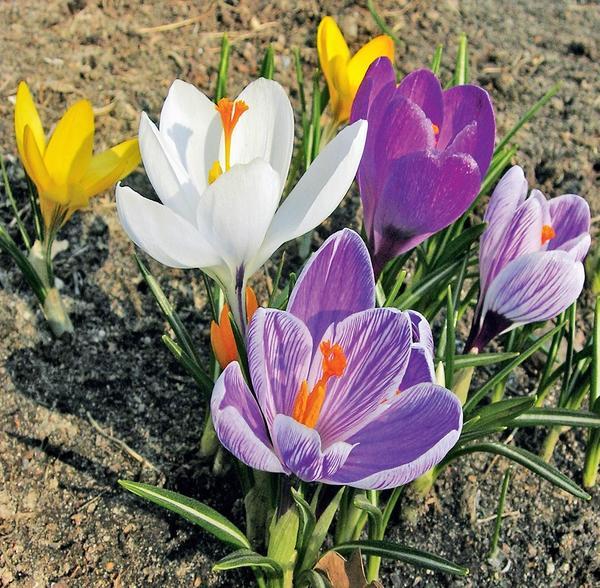 Разноцветные крокусы в зависимости от сорта цветут весной или осенью