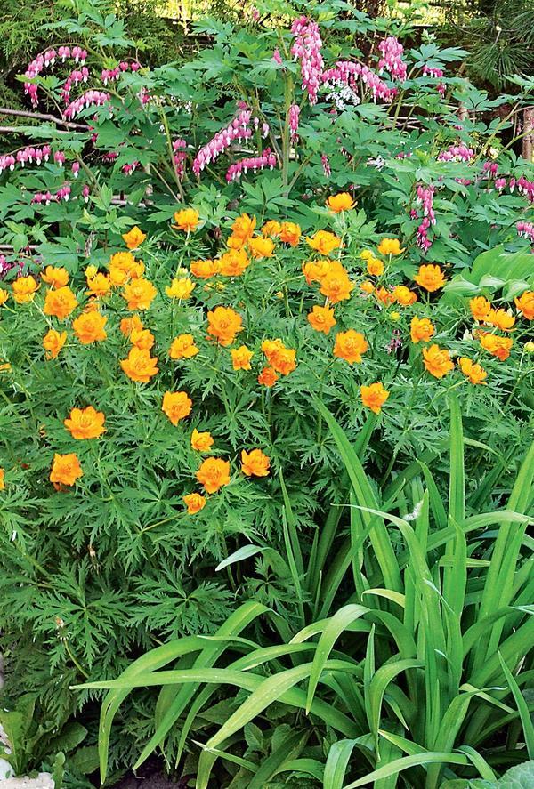 Купальницу азиатскую часто называют «жарок» — настолько ярко на фоне зелени полыхают ее цветки.
