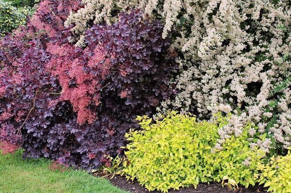 Эффектная компания: кустарники с разным цветом листвы отлично сочетаются друг с другом.