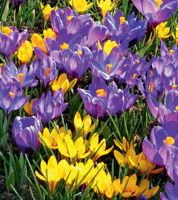Все мы любим луковичные растения за яркость красок