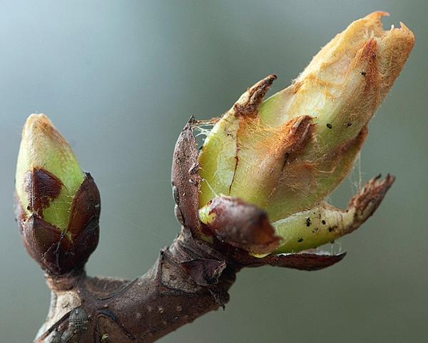 Раздвигаются почечные чешуи, а цветки и листья еще не видны