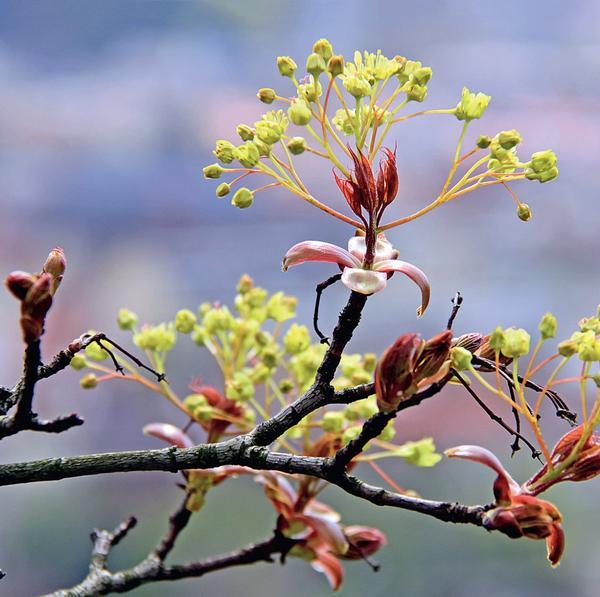 Молодые листочки имеют оранжево-красную, насыщенно красную или пурпурно-красную окраску