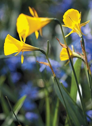 'Golden Bells'