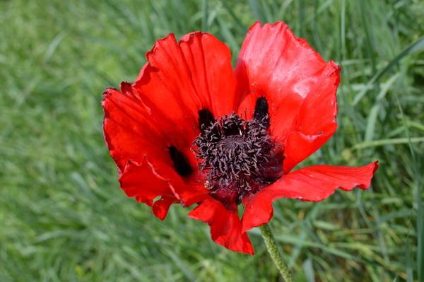 Диаметр цветка = 15-20 см