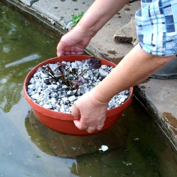 Опускаем пересаженную кувшинку в водоём