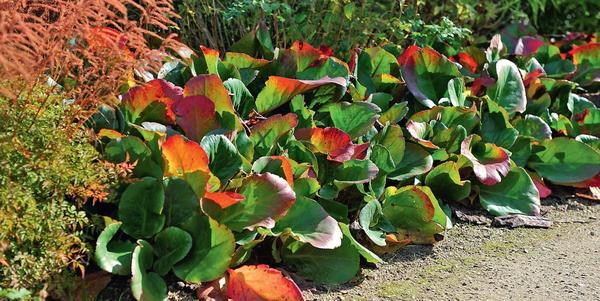 Осенью листья бадана краснеют: красота!