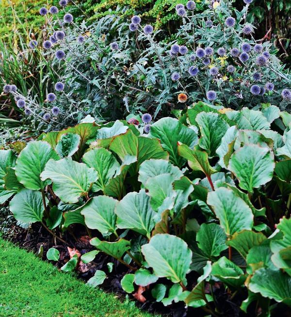 Баданы долговечны, на одном месте могут расти годами. Раз в 5–6 лет кусты надо делить.