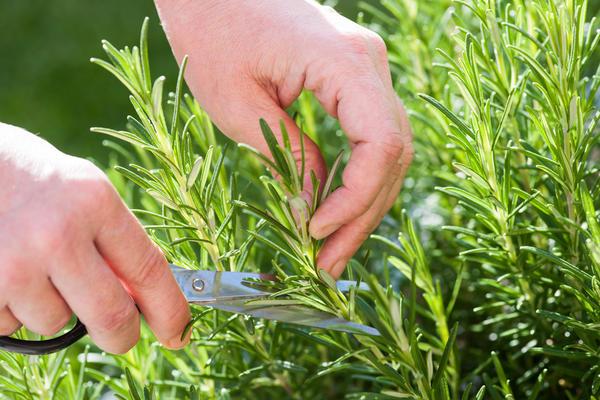 Размножьте розмарин зелеными черенками!