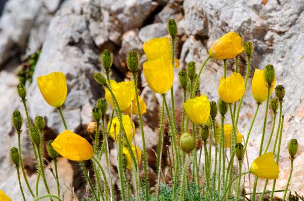 Мак альпийский (Papaver alpinim)