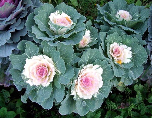 Декоративная капуста: ну чем не роза?