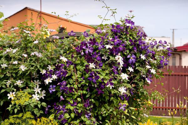Время обрезки клематисов зависит от срока их цветения