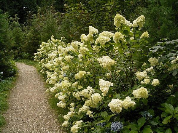 Гортензия метельчатая (Hydrangea paniculata). Фото с сайта http://www.verdeepaesaggio.it