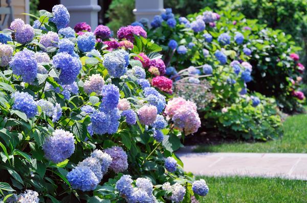 Из гортензии устраивают красивоцветущие живые изгороди