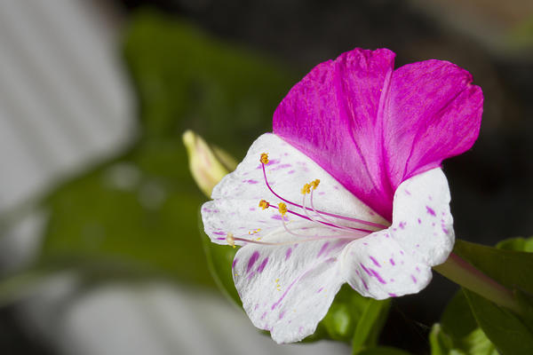 Сорта с разноцветно окрашенными цветками особенно эффектны.