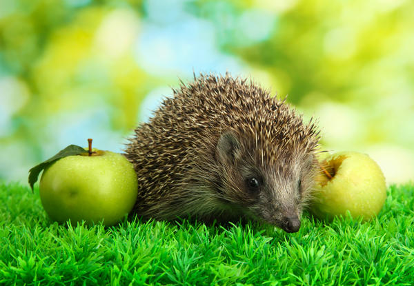 Никто еще не встречал ежа, пытающегося утащить яблоко.