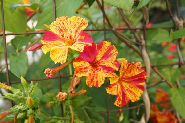 Пестроцветные сорта высаживают там, где к ним можно подойти вплотную.