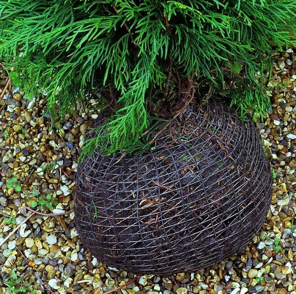 Сетка, укутывающая земляной ком, поможет предотвратить повреждение корней при транспортировке