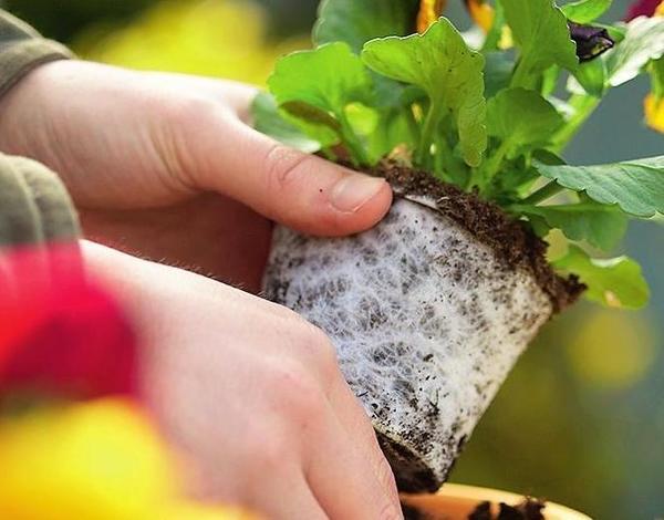 Белые корешки, опутывающие земляной ком, - признак жизнеспособности растений