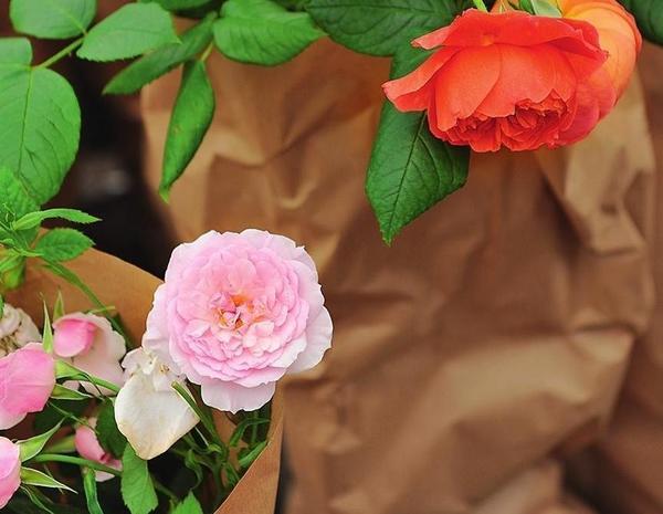 Земляной ком роз на время транспортировки лучше затенить крафтовой бумагой