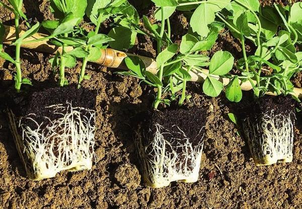 Саженцы, которые продают с комом земли, относят к растениям с ЗКС