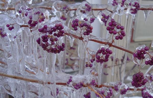 Красивоплодник. Фото с сайта http://katieskitchengarden.blogspot.ru