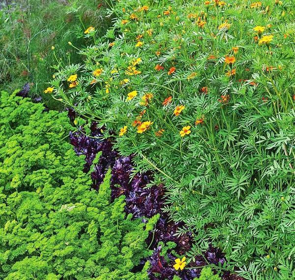 Эффектно смотрятся высаженные рядами пряные травы разной высоты