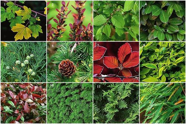 12 самых подходящих растений для живой изгороди