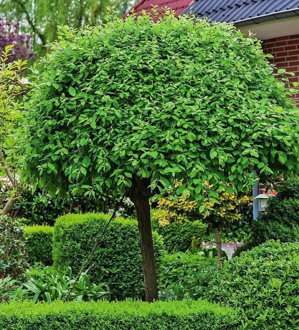 Ива козья (Salix caprea)