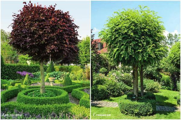Слева: бук лесной (Fagus sylvatica). Справа: глициния (Wisteria)