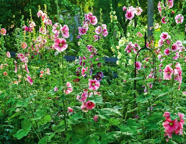 Шток-роза розовая (Alcea rosea)
