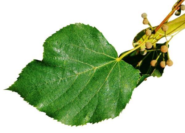 На листьях липы появляется липкая падь