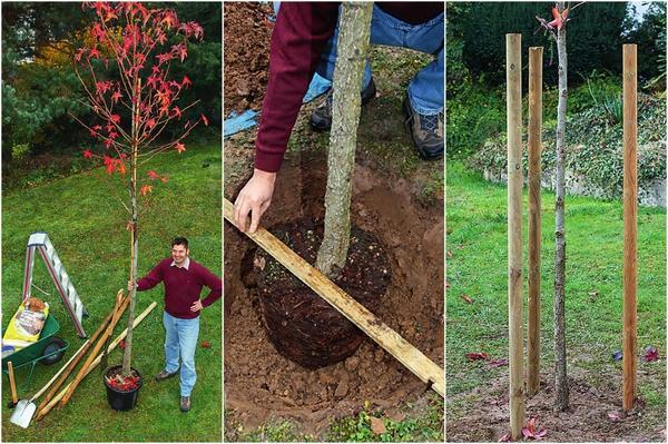 Чтобы посаженное деревце радовало глаз стройностью, его обязательно нужно укрепить, но после того, как осядет земля