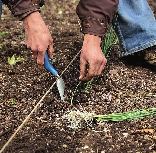 Высаживать лук-порей желательно рядами в рыхлую, богатую гумусом почву.