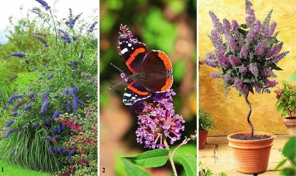 1. Буддлею используют в композициях с травянистыми многолетниками.  2.  Главное достоинство буддлеи - заманивать в цветники красивых бабочек.  3. Компактные, в меру засухоустойчивые сорта буддлеи - настоящая находка для контейнерного цветоводства.