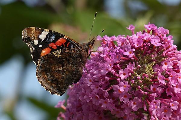 Ароматные кисти буддлеи не только раскрасят ваш сад всеми оттенками лилового и розового, но и привлекут в него очаровательных крылатых созданий.