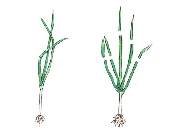 У слабой рассады листья не обрезают. Укорачивать их стоит при высадке рассады летом и если при посадке вы повредили корни.