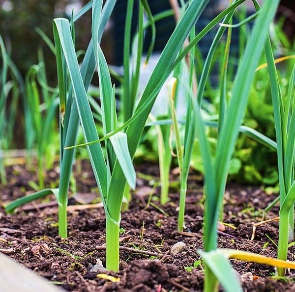 Молодой лук-порей растет очень медленно