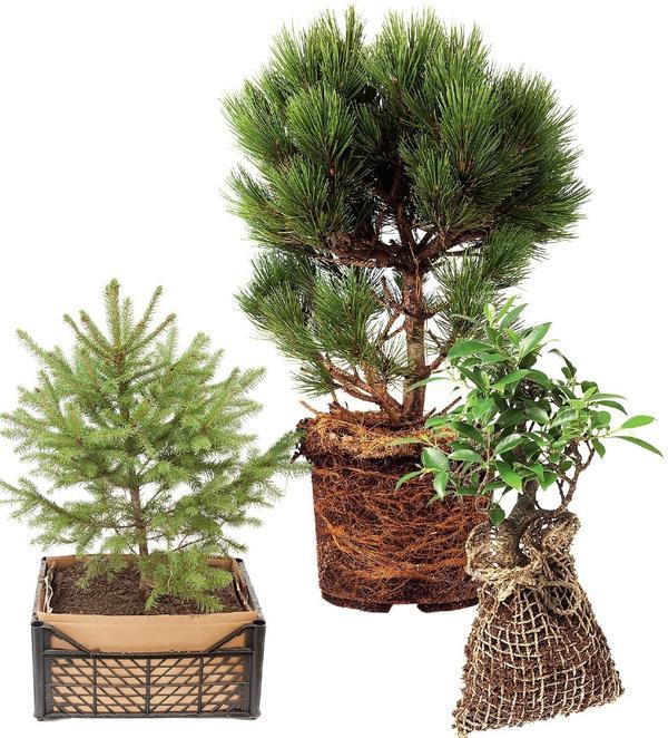 Саженцы с закрытой корневой системой (ЗКС) выращивают не в открытом грунте, а сразу в пластиковых контейнерах или в полиэтиленовых пакетах, поэтому весь земляной ком пронизан корнями.