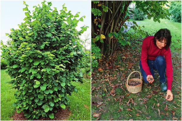 Слева: Лещина вырастает до 7 м в высоту и до 4-5 м в ширину. Справа: Только что упавшие с куста полностью созревшие лесные орешки потрясающе ароматные и вкусные!