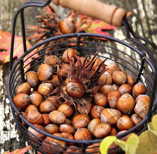 У лещины обыкновенной созревшие орешки легко отделяются от плодовых оберток.