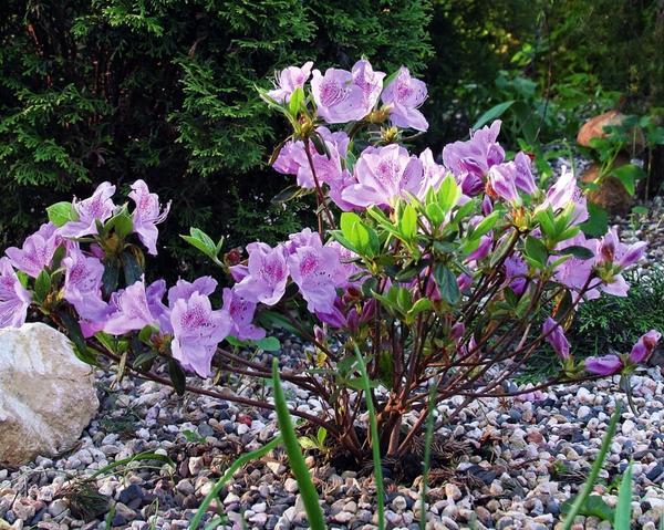 Рододендрон всегда «тянет на кисленькое», поэтому эти живописные кусты на подкисленных почвах особенно охотно будут расти и цвести.