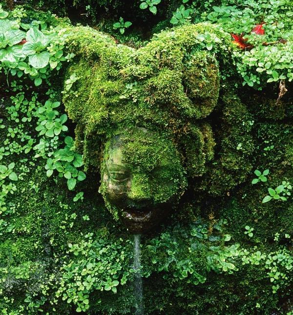 Эти растения предпочитают тенистые, влажные уголки на стенах, возле фонтанов и у корней деревьев