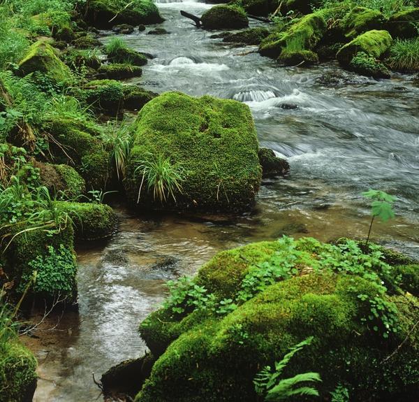 Высокая влажность и регулярные подъемы воды в ручьях также способствуют распространению мхов